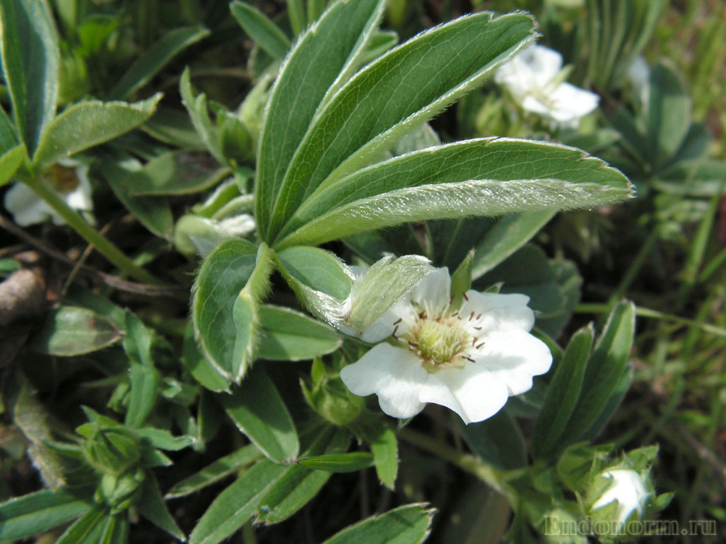 Лапчатка белая весной в период цветения