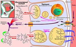 Биосинтез тиреоидных гормонов