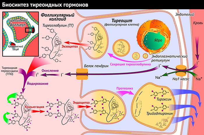 Железа Эндокринная